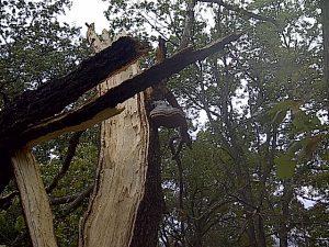 chêne cassé amadouvier